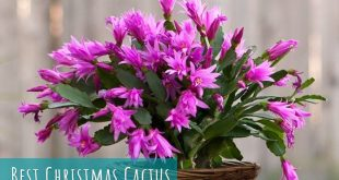 Best Christmas Cactus
