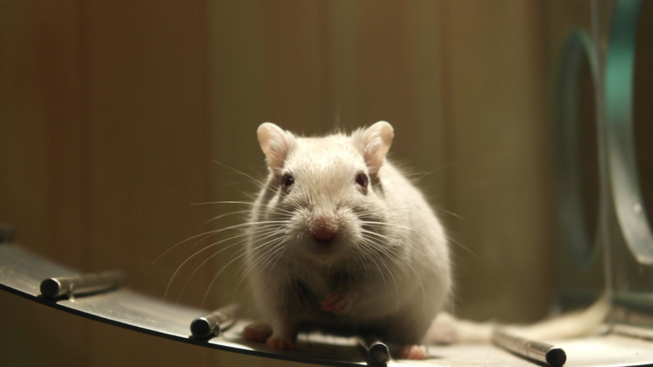 Mouse Poison to Get Rid of House Mice