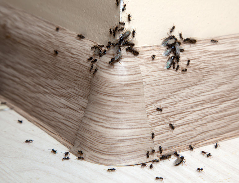 get rid of ants in 2020