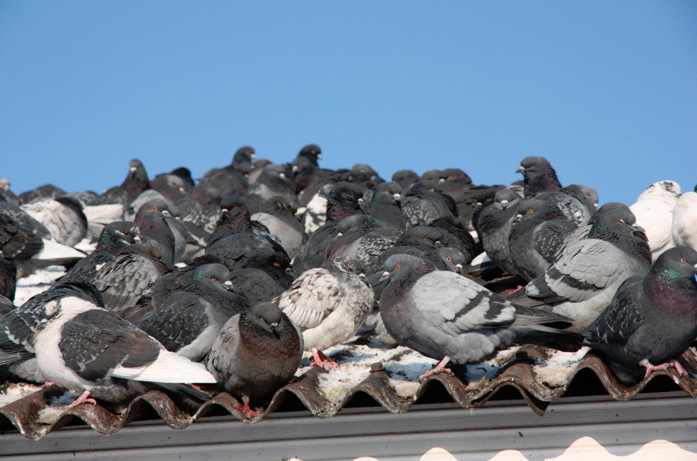 How to Pigeon-proof Your Home or Business